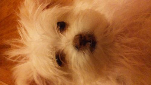 Maltipoo Puppies for sale in Upper Marlboro, MD 20772, USA. price 500USD