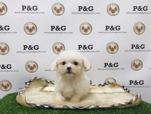Maltipoo Puppies for sale in Temple City, CA, USA. price 1250USD