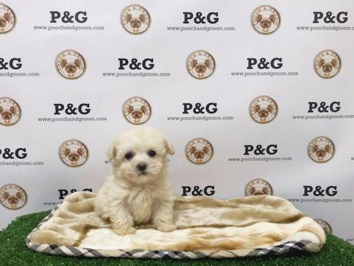 Maltipoo Puppies for sale in Temple City, CA, USA. price 1350USD