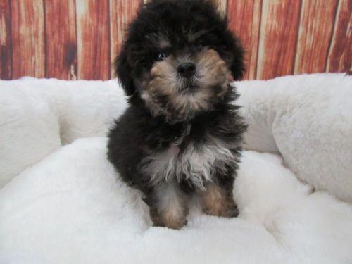 Maltipoo Puppies for sale in Orange County, CA, USA. price 795USD