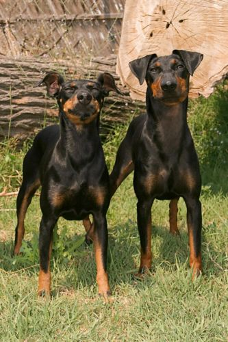 manchester terrier dogs