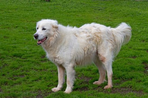 maremma sheepdog dog