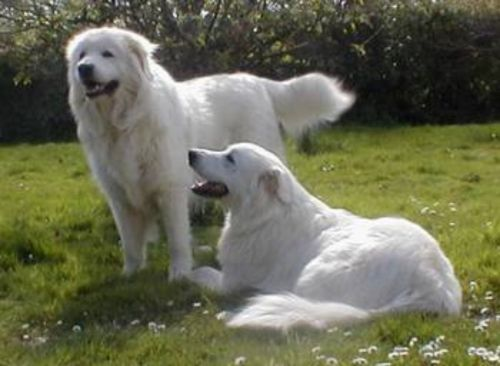 maremma sheepdog dogs