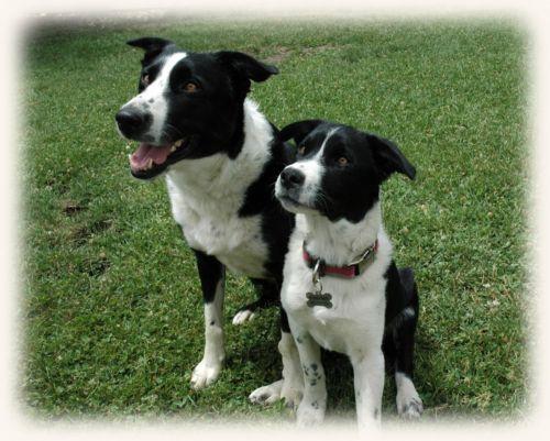 mcnab dogs