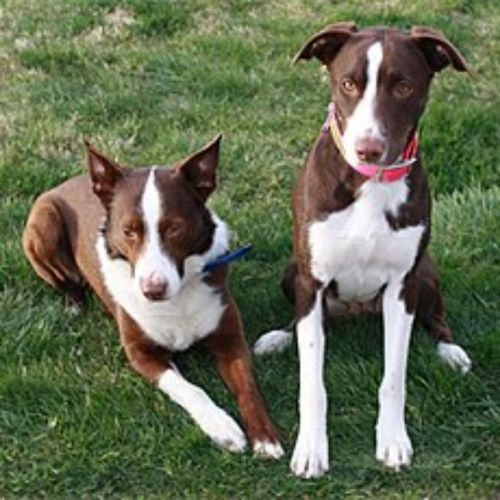 mcnab puppies