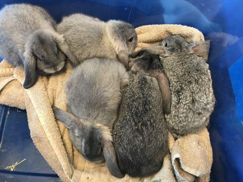 Mini Lop Rabbits for sale in Fountain, CO 80817, USA. price 75USD