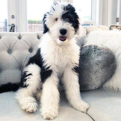 mini sheepadoodles dog