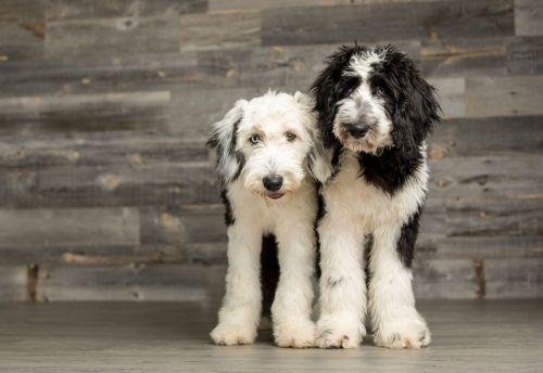 mini sheepadoodles dogs