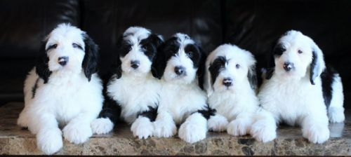 mini sheepadoodles puppies