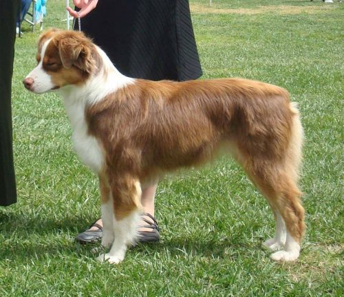 miniature australian shepherd dog