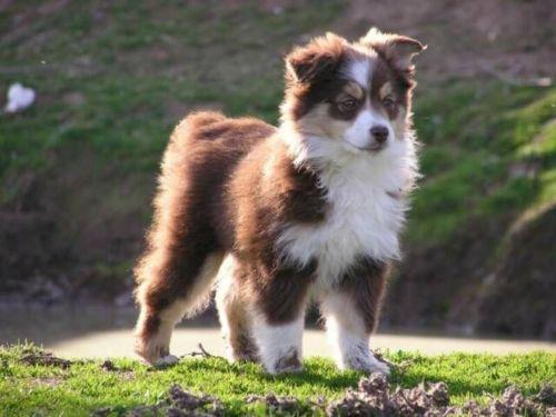 miniature australian shepherd puppy