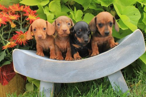 Miniature Dachshund Puppies for sale in New Haven, CT, USA. price 400USD