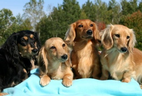 miniature dachshund dogs