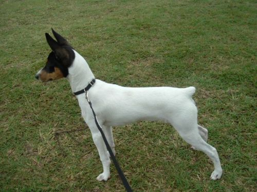 miniature fox terrier dog