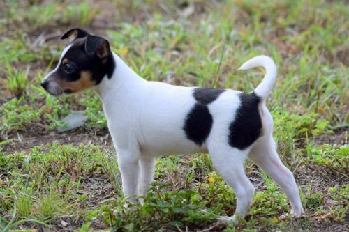 miniature fox terrier puppy