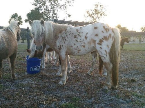 Miniature Horse Horses for sale in De Leon Springs, FL, USA. price 500USD