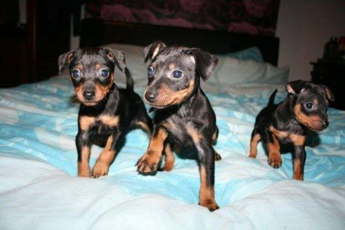 miniature pinscher puppies