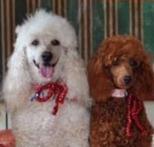 miniature poodle dogs