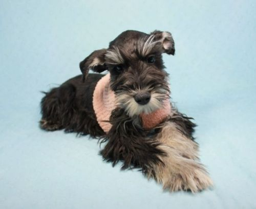 Miniature Schnauzer Puppies for sale in Agoura Hills, CA, USA. price 650USD