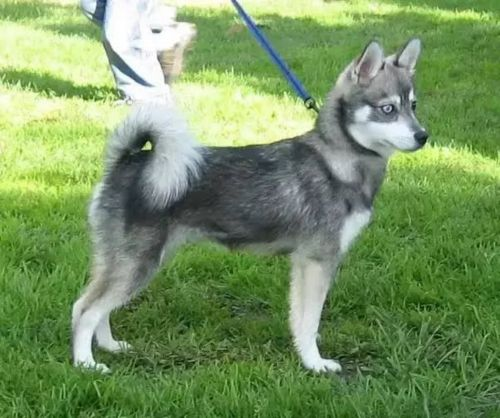 miniature siberian husky dog