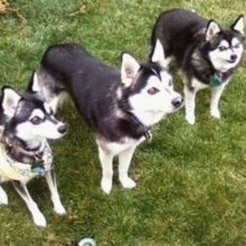 miniature siberian husky dogs