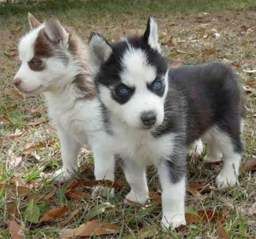 miniature siberian husky puppies
