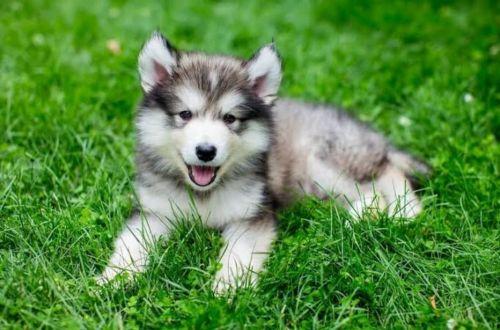 miniature siberian husky puppy