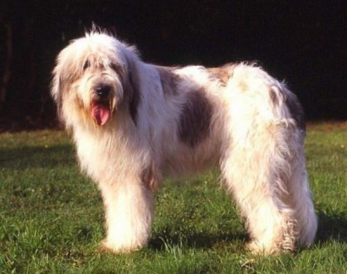 mioritic sheepdog dog