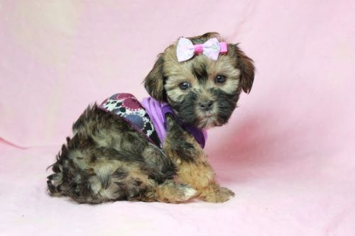 Morkie Puppies for sale in Agoura Hills, CA, USA. price 2000USD