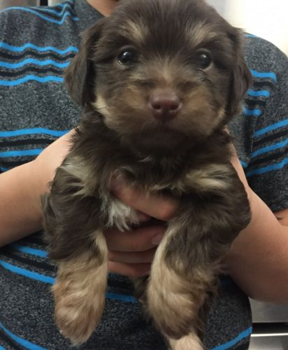 Morkie Puppies for sale in Temecula, CA, USA. price 600USD