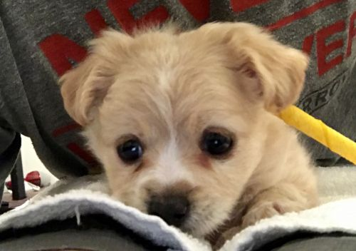 Morkie Puppies for sale in Scottsdale, AZ, USA. price -USD