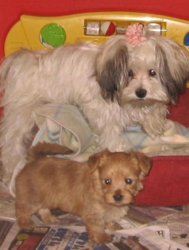 Morkie Puppies for sale in San Jose, CA, USA. price 550USD