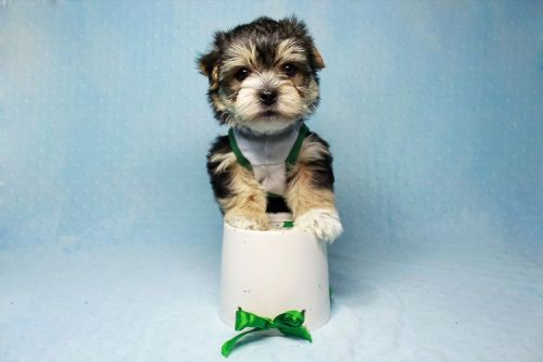 Morkie Puppies for sale in Agoura Hills, CA, USA. price 1800USD