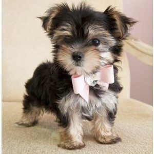 Morkie Puppies for sale in FL-436, Casselberry, FL, USA. price -USD