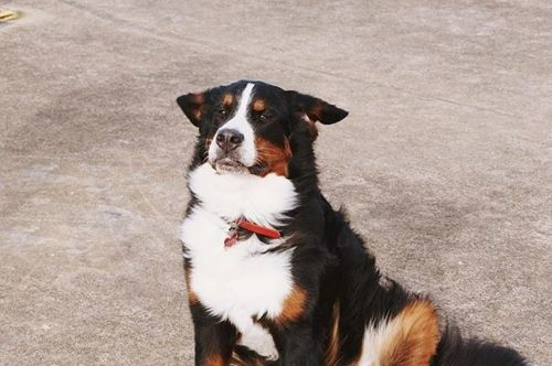mountain burmese dog