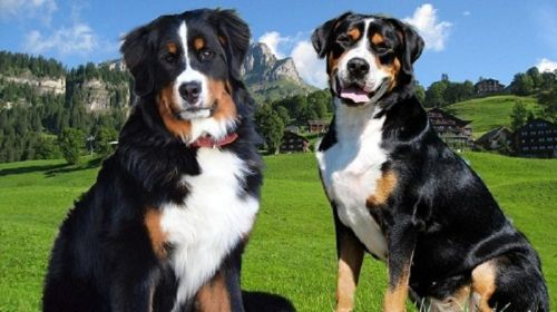 mountain burmese dogs