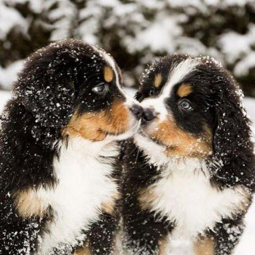 mountain burmese puppies