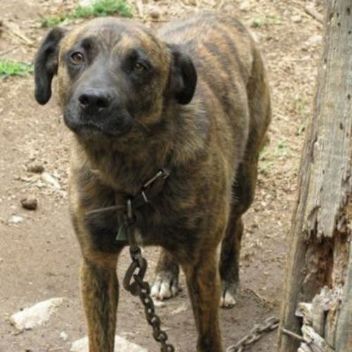 mountain cur dog
