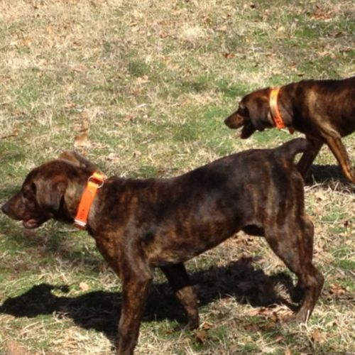mountain cur dogs