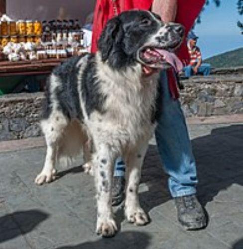 mucuchies dog