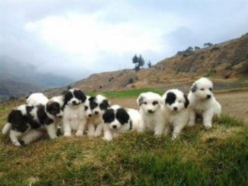 mucuchies puppies