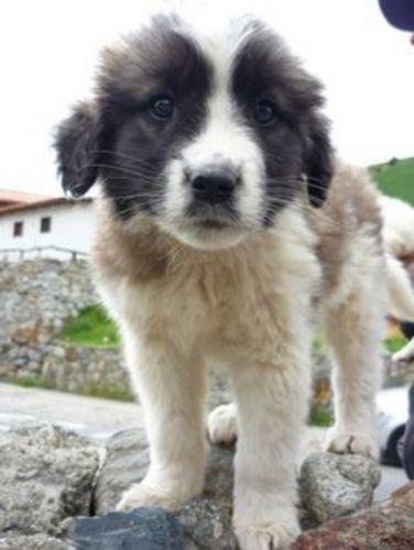 mucuchies puppy