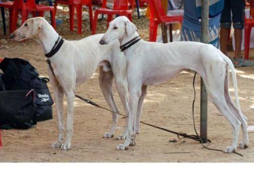 mudhol hound dogs