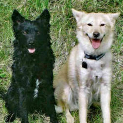 mudi dogs