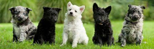 mudi puppies