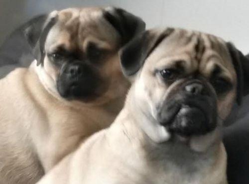 muggin dogs