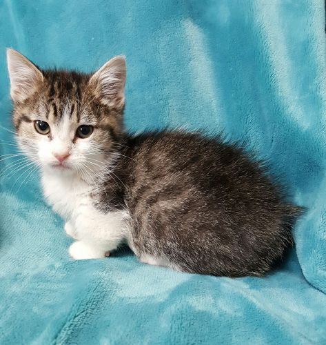 Munchkin Cats for sale in Ava, MO 65608, USA. price 1500USD