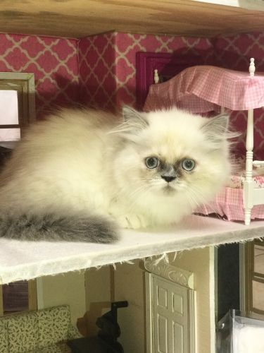 Munchkin Cats for sale in Hutto, TX 78634, USA. price 1100USD