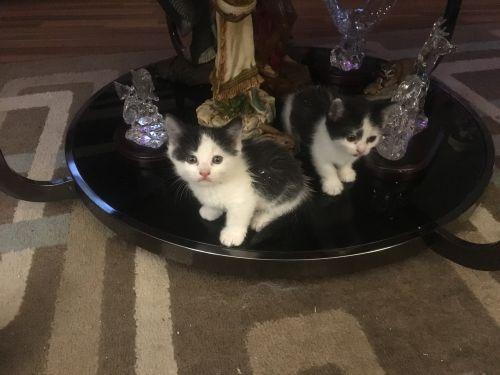 Munchkin Cats for sale in Port Orange, FL, USA. price 1000USD