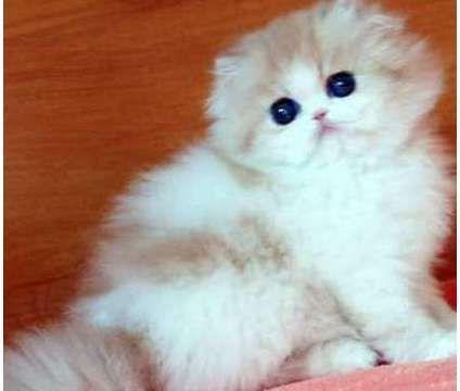 Munchkin Cats for sale in Abilene, Houston, TX 77020, USA. price -USD